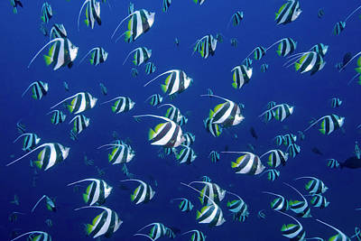 Fish Underwater Photograph - Schooling Bannerfish, Raja Ampat by Jaynes Gallery