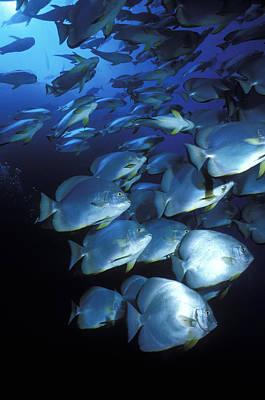 Adjectives Photograph - Schooling Circular Batfish, Ras by Alex Misiewicz