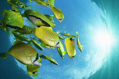 Schooling Milletseed Butterflyfish Art Print