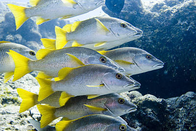 Underwater Photograph - Schoolmaster Snappers by Jim Murphy