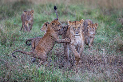 Lionesses Photograph - Schools Out - Let's Play by Jeffrey C. Sink
