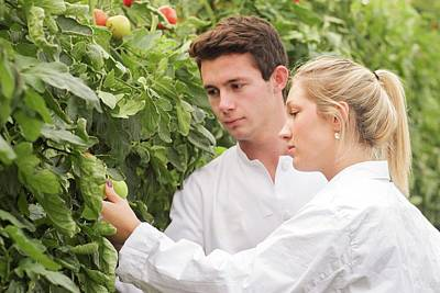 Tomato Photograph - Scientists Examining Tomatoes by Gombert, Sigrid