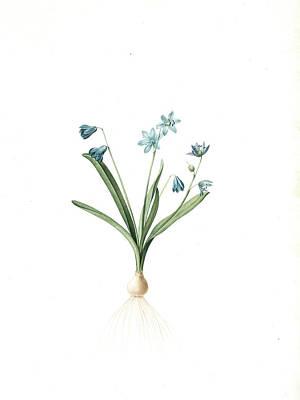 Able Drawing - Scilla Amoena, Scilla Sibirica Scille Agréable Siberian by Artokoloro