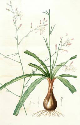 Scilla Pomeridiana, Chlorogalum Pomeridianum Scille De Art Print by Artokoloro