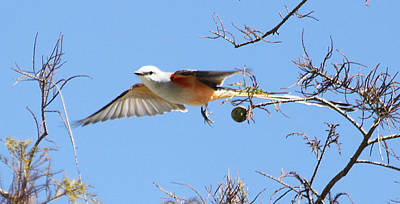 Photograph - Scissor Tail Flycatcher by Dart and Suze Humeston