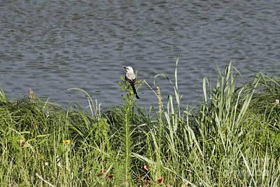 Scissor-tail Photograph - Scissor-tailed Flycatcher At The River by Douglas Barnard
