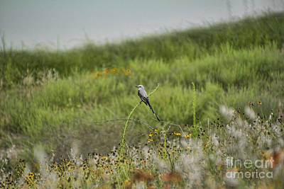 Scissor-tail Photograph - Scissor-tailed Flycatcher by Douglas Barnard