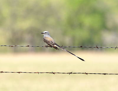 Photograph - Scissor-tailed Flycatcher by Frank Madia