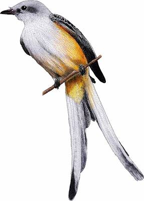 Scissor-tail Photograph - Scissor-tailed Flycatcher by Roger Hall