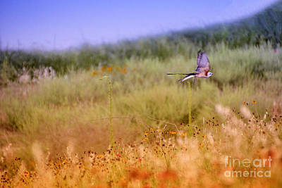 Scissor-tail Photograph - Scissor-tailed Flycatcher V2 by Douglas Barnard