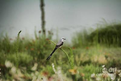 Scissor-tail Photograph - Scissor-tailed Flycatcher V4 by Douglas Barnard
