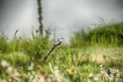 Scissor-tail Photograph - Scissor-tailed Flycatcher V5 by Douglas Barnard