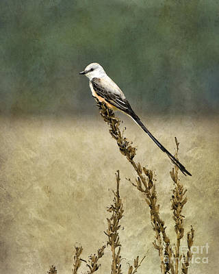 Flycatcher Photograph - Scissortailed-flycatcher by Betty LaRue