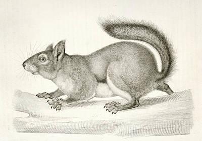 Pine Squirrel Drawing - Sciurus Douglassii Var, Suckleyi by Artokoloro