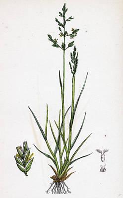 Botanica Drawing - Sclerochloa Borreri Borrers Meadow-grass by English School