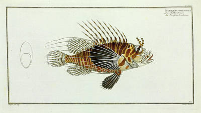 Scorpaena Antennata (pterois Antennata) Art Print by Natural History Museum, London