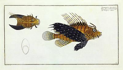 Scorpaena Volitans (pterois Volitans) Art Print by Natural History Museum, London