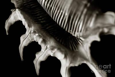 Scorpion Spider Conch Shell Art Print by Charmian Vistaunet