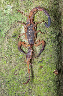 Eating Entomology Photograph - Scorpion With Prey by Melvyn Yeo