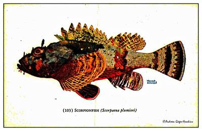 Digital Art - Scorpionfish 1932 Vintage Postcard by Audreen Gieger