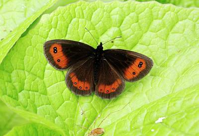 Scotch Argus Butterfly Art Print by Bob Gibbons