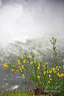 Photograph - Scotch Broom Plant Blooming In Front Of Waterfall Art Prints by Valerie Garner