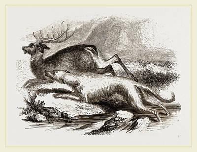 Greyhound Drawing - Scotch Greyhound by Litz Collection