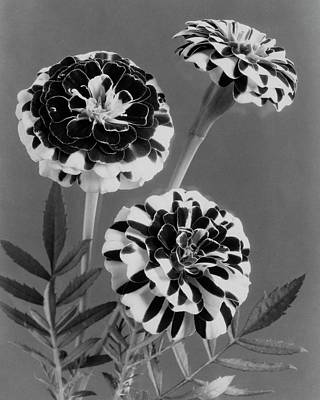 White House Photograph - Scotch-stripe Marigolds by J. Horace McFarland