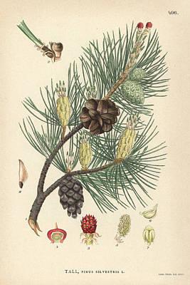 Scots Pine Art Print by Florilegius/natural History Museum, London