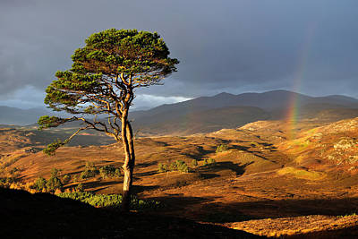 Photograph - Scots Pine by Gavin Macrae
