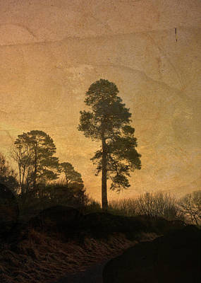 Photograph - Scots Pine by Liz  Alderdice