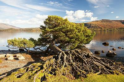 Tree Roots Photograph - Scots Pine On Lake Shore by Ashley Cooper