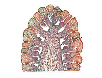 Ovule Photograph - Scots Pine (pinus Sylvestris) Female Cone by Dr Keith Wheeler