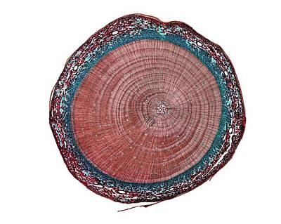 Scots Pine (pinus Sylvestris) Old Stem Art Print by Dr Keith Wheeler
