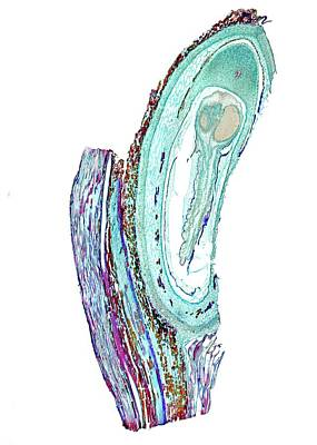 Scots Pine (pinus Sylvestris) Ovule Art Print by Dr Keith Wheeler