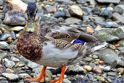 Photograph - Scottish Duck by Jason Politte