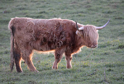 Photograph - Scottish Highland Cow Bangs by RD Erickson
