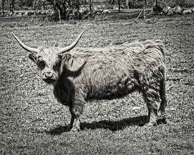 Maine Meadow Digital Art - Scottish Highland Cow In Maine Farm Field by Keith Webber Jr