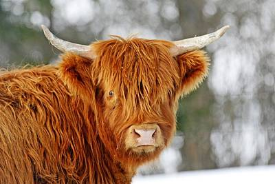 Country Scenes Photograph - Scottish Highland Cow by Michael Allen
