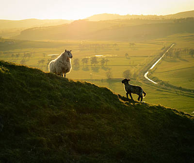 Scottish Sheep And Lamb Print by Mr Doomits