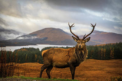 Scottish Stag Art Print