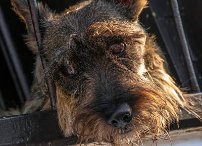 Scottish Terrier Closeup Art Print by Jess Kraft
