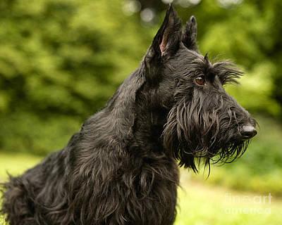 Scottish Terrier Mixed Media - Scottish Terrier by Marvin Blaine
