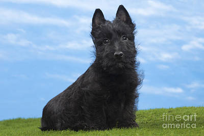 Scottish Terrier Puppy Art Print by Jean-Michel Labat