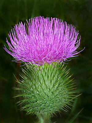 Photograph - Scottish Thistle  by William Tanneberger