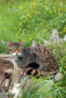 Tabby Photograph - Scottish Wild Cat by Alex Hyde