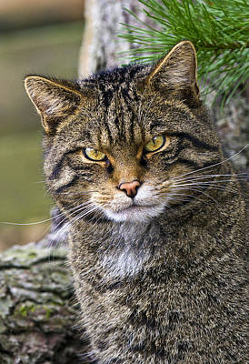 Scottish Wildcat Print by Marcia Colelli