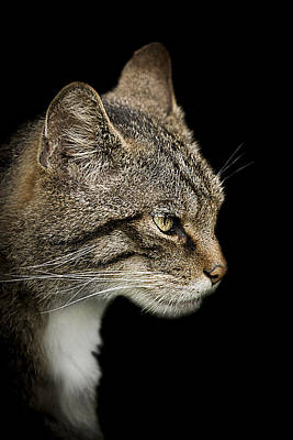 Portraits Royalty-Free and Rights-Managed Images - Scottish Wildcat by Paul Neville