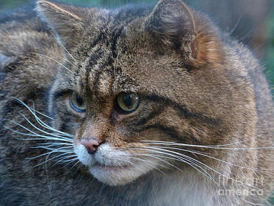 Photograph - Scottish Wildcat by Phil Banks
