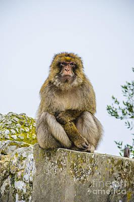 Photograph - Scowling Barbary Ape by Deborah Smolinske